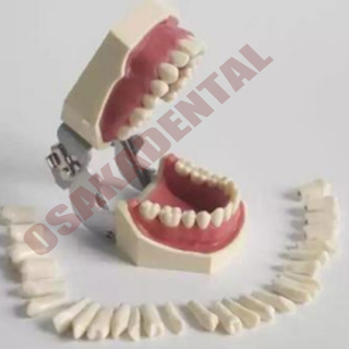 Dental Teeth mold for teaching / Nissin Teeth