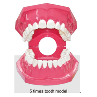 A Dental Tooth model for Teaching and Training